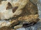 Mopek zimujący w towarzystwie ciem Triphosa dubitata
